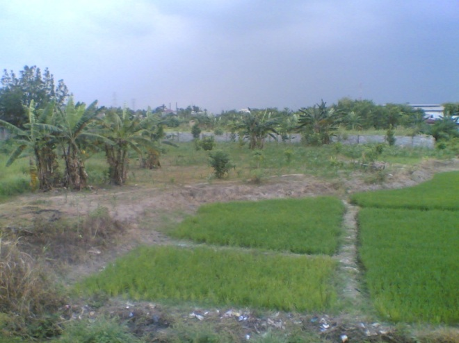 Green paddy fields, Sunggal, Deli Serdang district