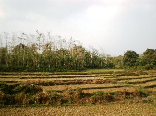 Green and lush paddy fields (2)