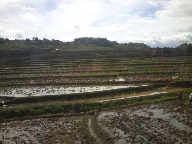 The lush rice fields in Padalarang, the season of growing has just started