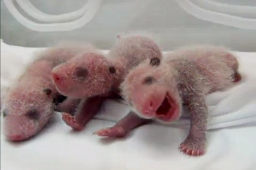 Panda Triplets Pin It The first known surviving giant panda triplets were born at the Chimelong Safari Park in China's Guangdong province on July 29, 2014. Credit: AFPTV | Chimelong Group | Newslook